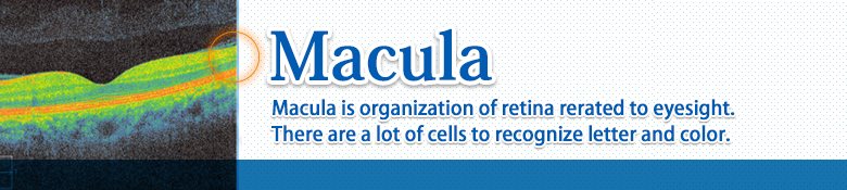 macula/Macula is organization of retina rerated to eyesight. There are a lot of cells to recognize letter and color.