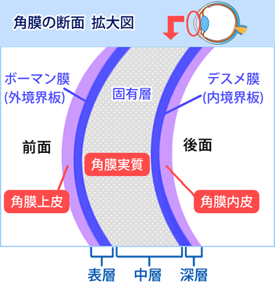 角膜の断面・拡大図